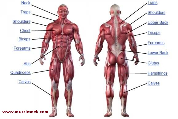 muscles anatomy – different muscles name & location | muscleseek, Muscles