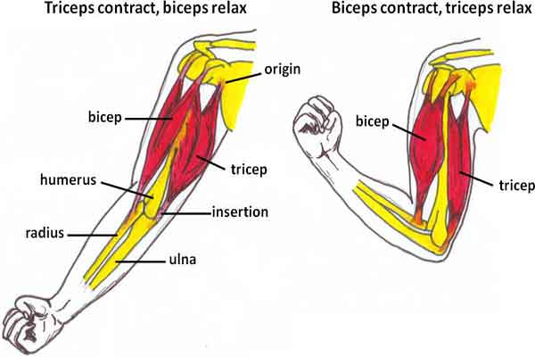 Triceps Brachii Muscle – Function, Pathology, Strain, Injuries ...