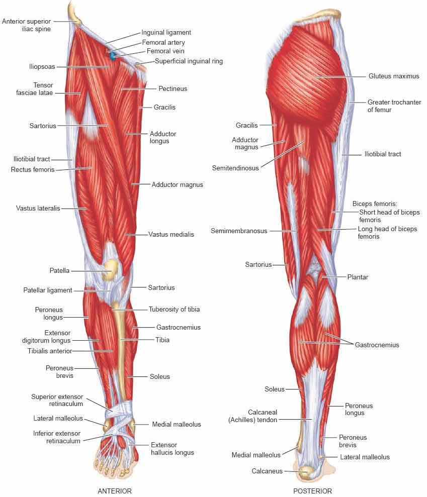 calf muscles – pathology, strain, diagnosis, treatment & exercises, Cephalic Vein