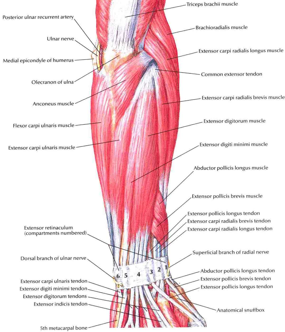Forearm Muscles – Structure, Injuries, Veins & Exercise | MuscleSeek