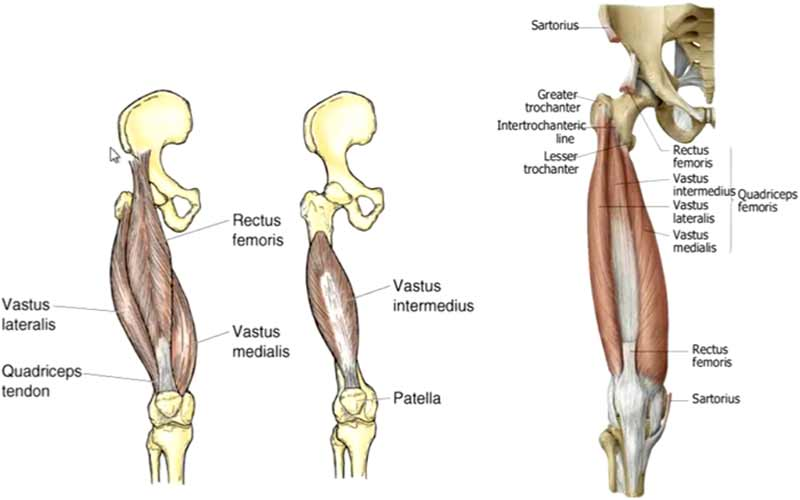 Quadriceps Femoris Muscles Heads Exercises Injuries Muscleseek