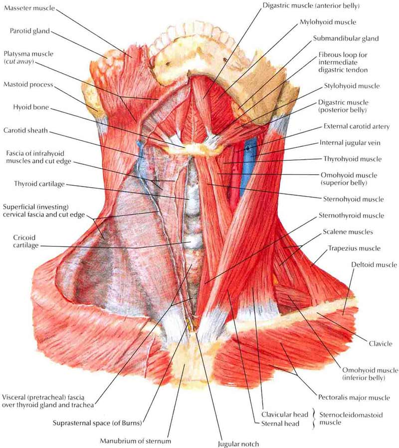Human Neck Diagram 104rma Lift