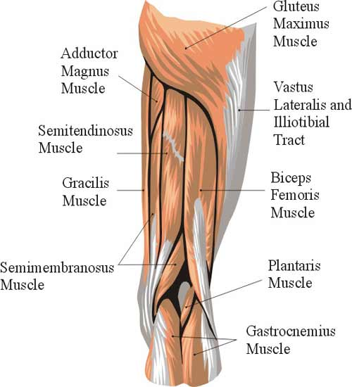 diagram  of hamstring muscles